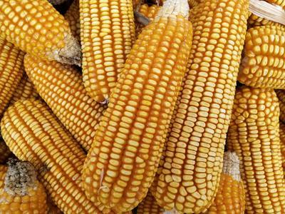 贵州省遵义市湄潭县玉米干粮 霉变≤1% 净货