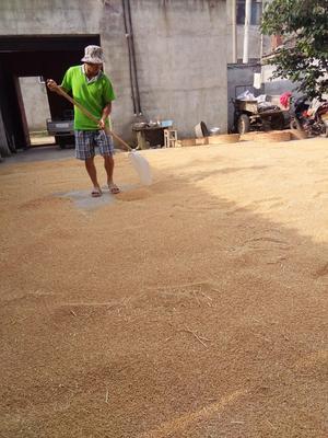 安徽省宿州市灵璧县普通小麦