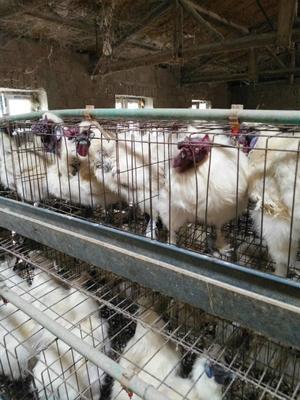 吉林省四平市公主岭市丝毛乌鸡 3-4斤