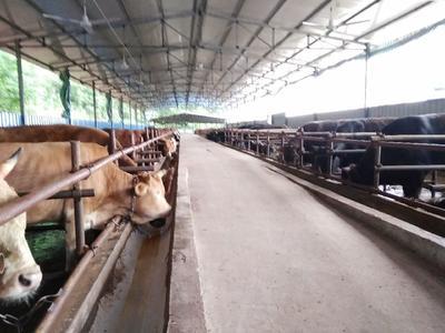 四川省南充市嘉陵区新疆褐牛 1000斤以上 公牛