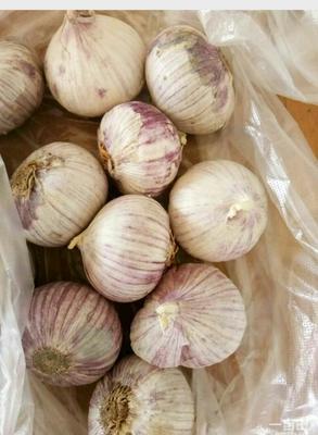 这是一张关于紫皮大蒜 2.8cm 独头的产品图片