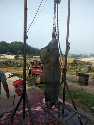 山东省威海市文登区猪肉类 生肉