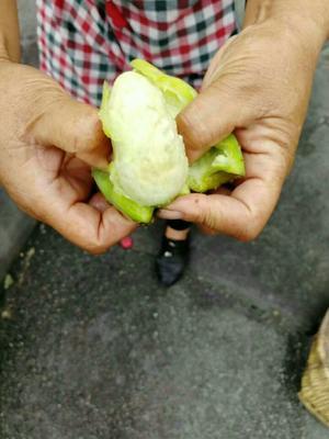 四川省甘孜藏族自治州康定县食用仙人掌 15~20公分