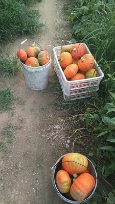 河北省邢台市南和县金瓜 2~4斤 扁圆形