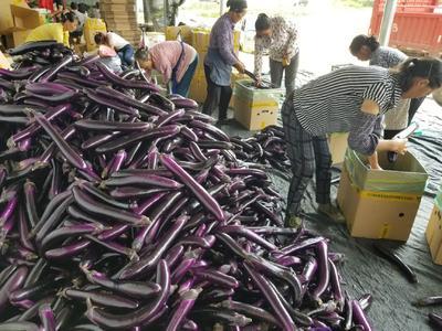 贵州省安顺市平坝县将军888茄子 5两以上
