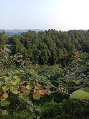这是一张关于红阳猕猴桃 70克以上的产品图片