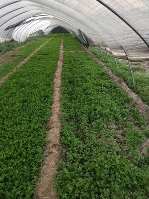 陕西省西安市未央区美国西芹 40cm以下 大棚种植 0.5斤以下