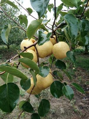 这是一张关于酥梨 350-400g 55mm以上的产品图片