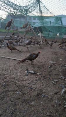 安徽省阜阳市太和县七彩山鸡 2-3斤