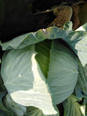 这是一张关于奥奇娜甘蓝 3.0~3.5斤的产品图片