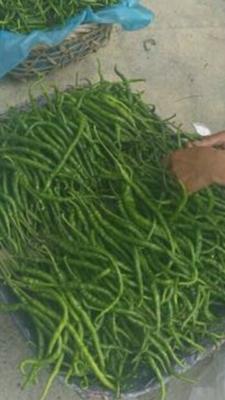 这是一张关于长椒 15~20cm 靑色 中辣的产品图片