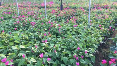 福建省漳州市龙海市潮州红三角梅 0.2~0.5米