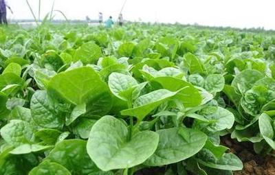 贵州省贵阳市花溪区大叶木耳菜 绿色