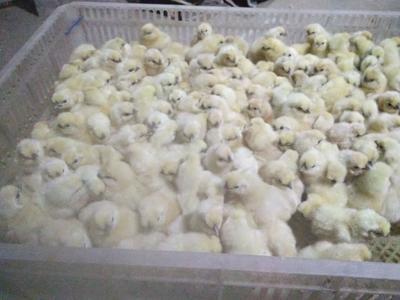 江西省吉安市泰和县白凤乌鸡 2-3斤