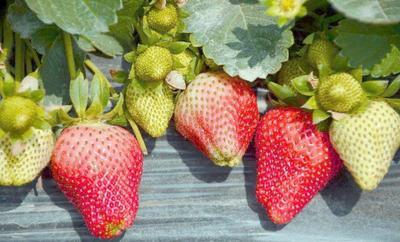 这是一张关于小白草莓苗 地栽苗 10~20公分的产品图片