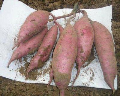 河北省廊坊市安次区毛薯 2-5两