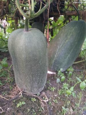 这是一张关于青皮冬瓜 20斤以上 黑皮的产品图片