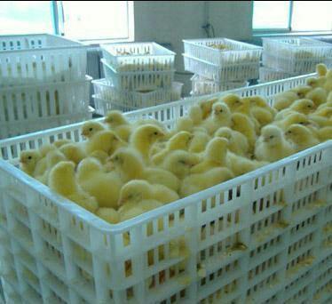 这是一张关于大三花鹅苗的产品图片