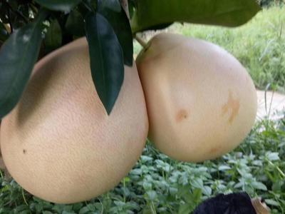 这是一张关于三红蜜柚 2.5斤以上的产品图片