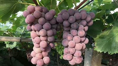 这是一张关于巨峰葡萄 5%以下 1次果 0.8-1斤的产品图片