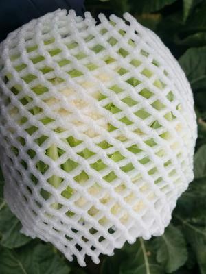 甘肃省兰州市榆中县白花菜花 适中 1斤以下 乳白色