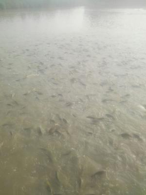 这是一张关于池鲤鱼 人工养殖 0.5-2.5龙8国际官网官方网站的产品图片
