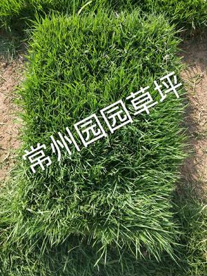 江苏省常州市武进区马尼拉草皮