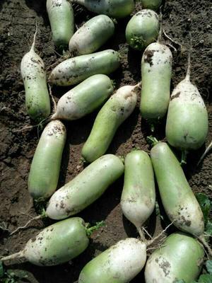 山西省忻州市忻府区青皮萝卜 1.5~2斤