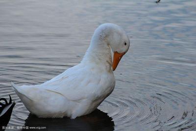 这是一张关于白鸭 统货 半圈养半散养 4-5斤的产品图片