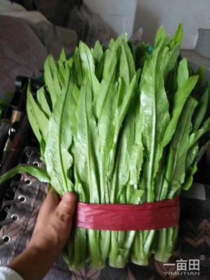 这是一张关于美冠油麦菜 10~15cm以上的产品图片