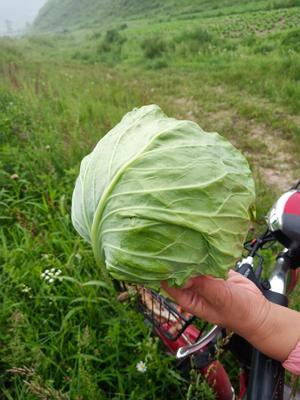 河北省张家口市蔚县韩国黄心白菜 3~6斤 净菜