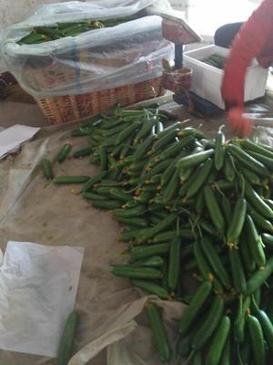 山东省潍坊市寿光市水果黄瓜 18cm以下 干花带刺