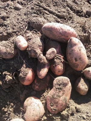内蒙古自治区赤峰市喀喇沁旗青薯 2两以上