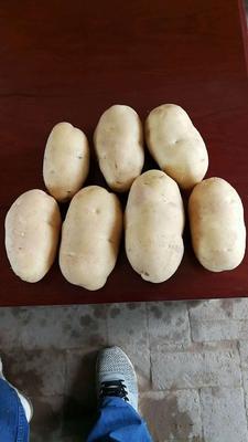 陕西省榆林市榆阳区226土豆 2两以上