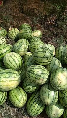 这是一张关于金城5号西瓜 有籽 1茬 8成熟 8斤打底的产品图片