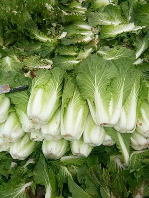云南省红河哈尼族彝族自治州泸西县高抗王二号大白菜 3~6斤 毛菜