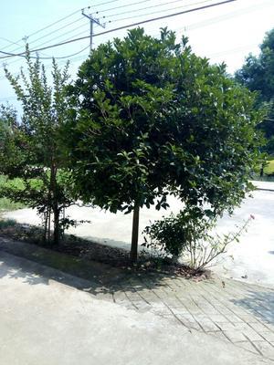 湖北省荆门市沙洋县桂花树