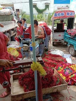 这是一张关于天宇辣椒 10~15cm 红色 中辣的产品图片