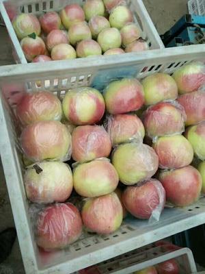 山东省日照市东港区美八苹果 纸+膜袋 片红 75mm以上