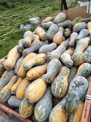 这是一张关于银栗南瓜 6~10斤 长条形的产品图片