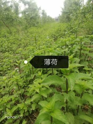 北京大兴区薄荷