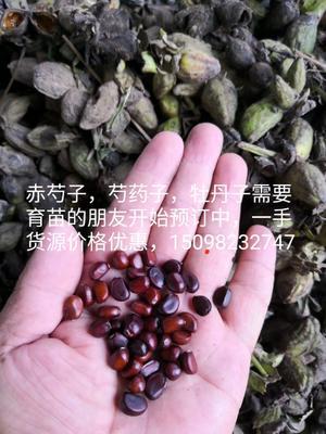 山东省菏泽市单县赤芍种苗
