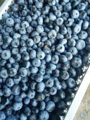 吉林省吉林市蛟河市半高丛蓝莓 鲜果 10 - 12mm以上