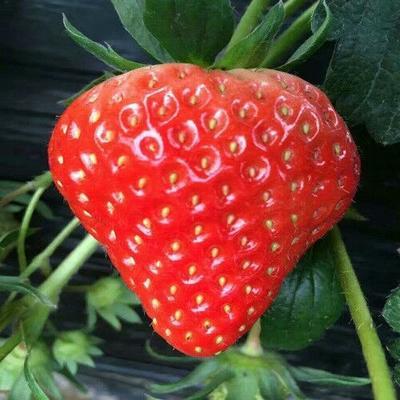 山东省泰安市岱岳区甜宝草莓苗 地栽苗 10~20公分