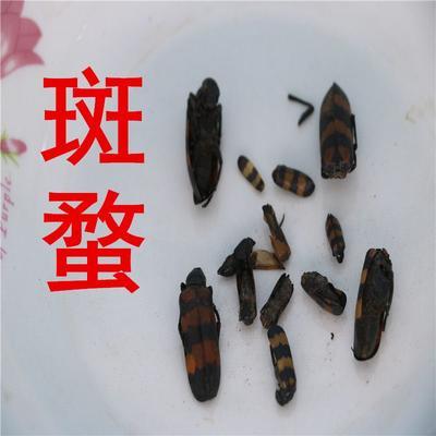 甘肃省定西市渭源县斑蝥