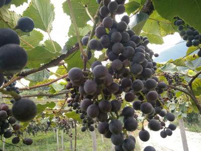 这是一张关于高山葡萄 5%以下 1次果 0.8-1斤的产品图片