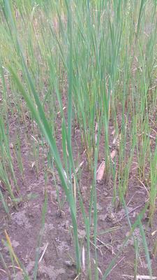 湖北省鄂州市粱子湖香蒲种子