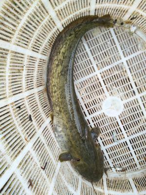 这是一张关于大口鲶鱼 人工养殖 1-1.5龙8国际官网官方网站的产品图片