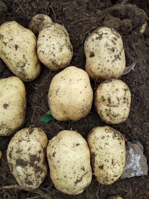 内蒙古自治区赤峰市喀喇沁旗226土豆 3两以上