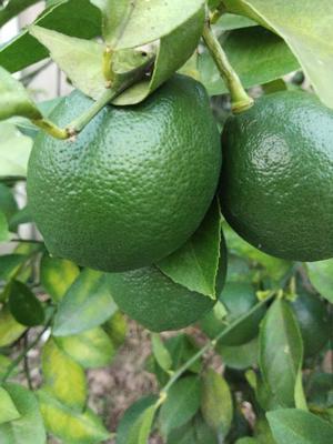 重庆万州区北京柠檬 2 - 2.6两